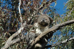Sleepy Koala Stock Photography