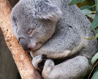 Sleepy Koala bear. Naps through the day stock photo