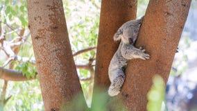 Sleepy koala lying on the tree Stock Photos