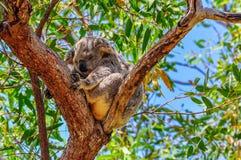 Sleepy koala in Magnetic Island, Australia Stock Photo