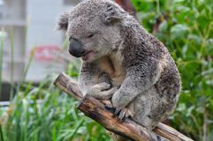 Sleepy Koala sitting on a tree branch in Australia Stock Images