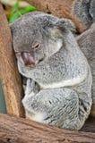 Koala Bear, Australia Royalty Free Stock Photo