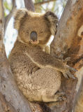 Sleepy Koala in a tree. The iconic koala bear of Australia has a very toxic diet of eucalyptus leaves and as such needs to spend a large portion of every day Royalty Free Stock Photo