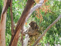 Sleepy Koala on the tree royalty free stock images