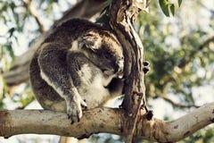 Sleepy koala Stock Image