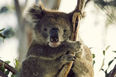 Sleepy koala Royalty Free Stock Photo