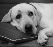 Sleepy labrador. Portrait of sleepy labrador dog resting on pillow Royalty Free Stock Images