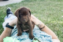 Sleepy brown Labrador male Puppy napping on mans chest mid day stock image