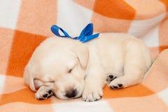 Sleepy labrador puppy. Adorable yellow sleepy labrador puppy on plaid background Stock Photos