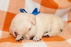 Sleepy labrador puppy. Adorable yellow sleepy labrador puppy on plaid background Stock Photo