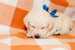 Sleepy labrador puppy Stock Photography