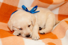 Sleepy labrador puppy Stock Photography