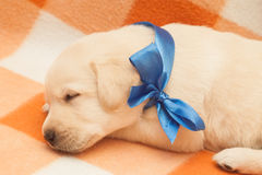 Sleepy labrador puppy Stock Photos