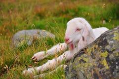 Sleepy lamb Royalty Free Stock Photography