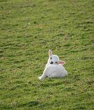 Sleepy Lamb (Ovis aries) Royalty Free Stock Image