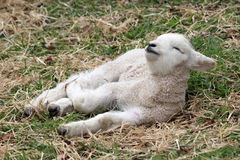 Sleepy Lamb Stock Photography