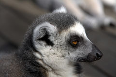 Sleepy Lemur Stock Photos