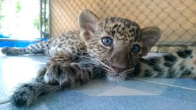 Sleepy Leopard Cub royalty free stock image