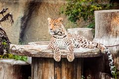 Sleepy leopard lying on a wooden roll Royalty Free Stock Image
