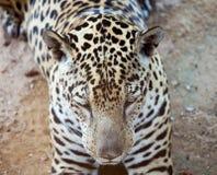 Sleepy leopard Stock Photography