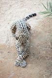 Sleepy leopard Stock Images