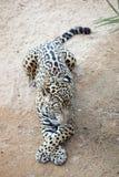 Sleepy leopard Royalty Free Stock Image