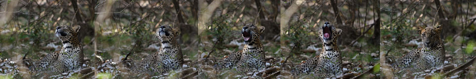 Sleepy Leopard Yawn Sequence Stock Images
