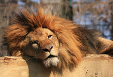 Sleepy lion royalty free stock photos