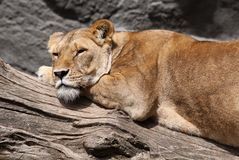 Sleepy lion Royalty Free Stock Photos