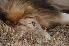 Sleepy Lion. A closeup of a sleepy lion lying under a tree in the Serengeti, Africa Royalty Free Stock Photo