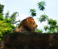 Content lion enjoying the outdoors royalty free stock image