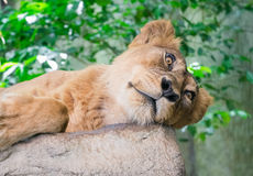 Sleepy lion Royalty Free Stock Images