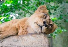 Sleepy lion Royalty Free Stock Images