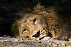 Sleepy lion Royalty Free Stock Photo