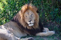 Sleepy Lion in the Shade Stock Photography