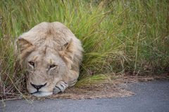 Sleepy Lion. A young male lion being quite lazy Royalty Free Stock Photos