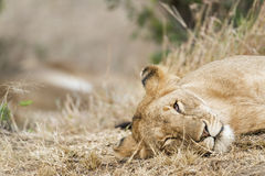 Sleepy Lioness. African lioness resting in grass , Masai Mara National Reserve, Kenya Stock Image