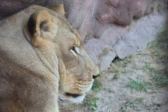 Sleepy lioness in Toronto ZOO. Canada Royalty Free Stock Photo