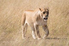 Sleepy lioness walking slowly across African savannah Stock Images