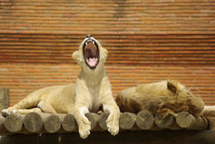 Sleepy Lions Royalty Free Stock Image