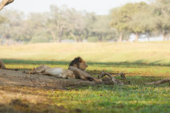 Sleepy lions. Two male lions relax on a river bank Stock Image