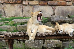 Yawning Female Lion Royalty Free Stock Photos