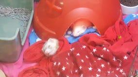 Sleepy little ferrets. Cuddly white ferrets royalty free stock photo