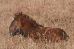 Sleepy little horse. Small brown horse that just woke up on a field Stock Photos