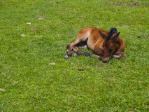 Sleepy little Horse Stock Images