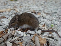 Sleepy little mouse Royalty Free Stock Photos