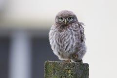 Sleepy Little owl Athene noctua Stock Photography