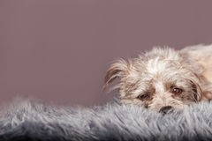 Sleepy Little Terrier Dog on Grey Fur Royalty Free Stock Photography