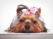 Sleepy little yorkshire terrier puppy dog is lying down Stock Image