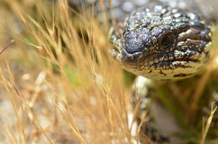 Sleepy lizard Stock Images